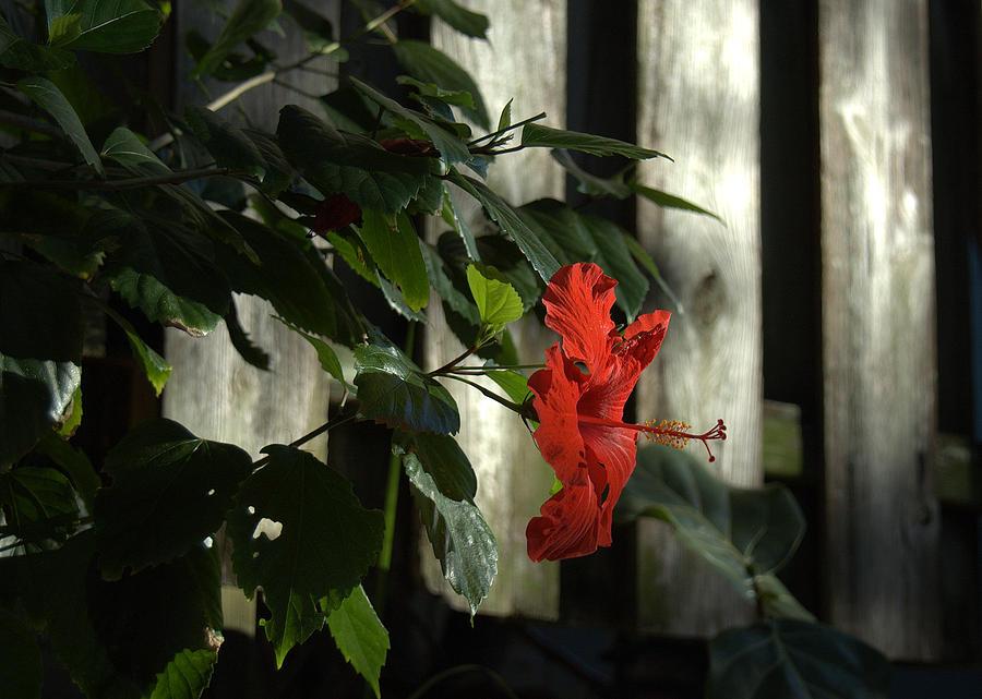 Nature Photograph - Happy Hibiscus by Al Cash