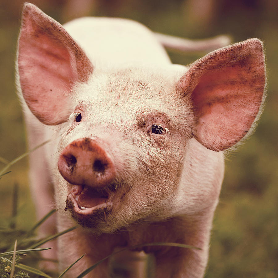 Square Photograph - Happy Little Piglet by Liesel Conrad