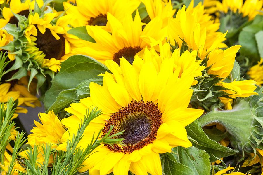 Spring Photograph - Happy Sunflowers by Dina Calvarese