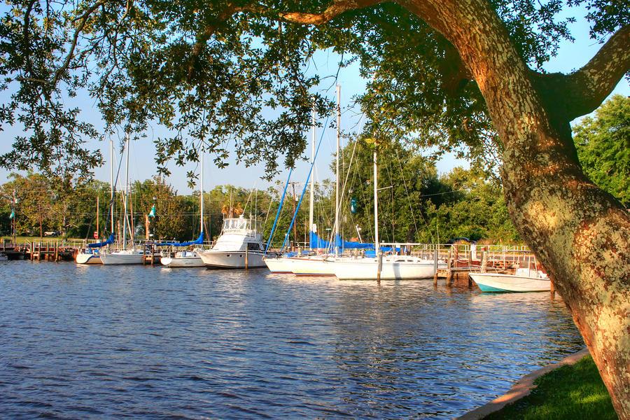 Oak Photograph - Harbor Oak by Barry Jones