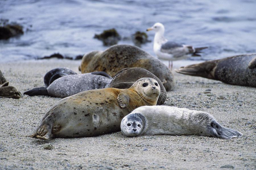 Mp Photograph - Harbor Seal And Pup by Suzi Eszterhas