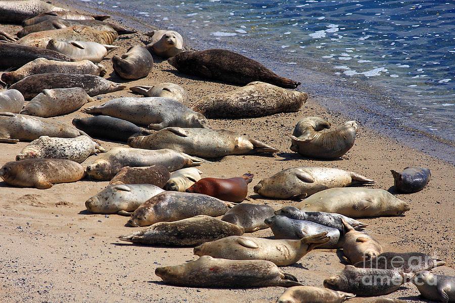 Bayarea Photograph - Harbor Seals Sunbathing On The Beach . 40d7553 by Wingsdomain Art and Photography
