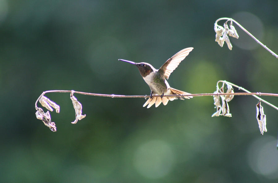 Hummingbird Photograph - Hard To Be Still  by Victoria  Kurlinski
