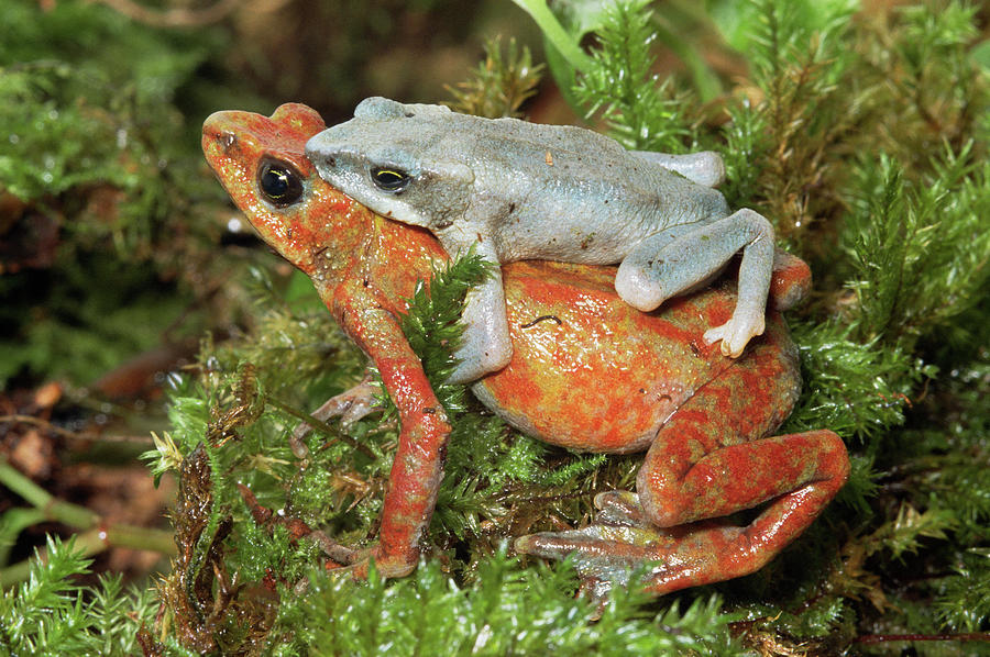 Harlequin Frog Atelopus Varius Pair Photograph by Michael & Patricia Fogden