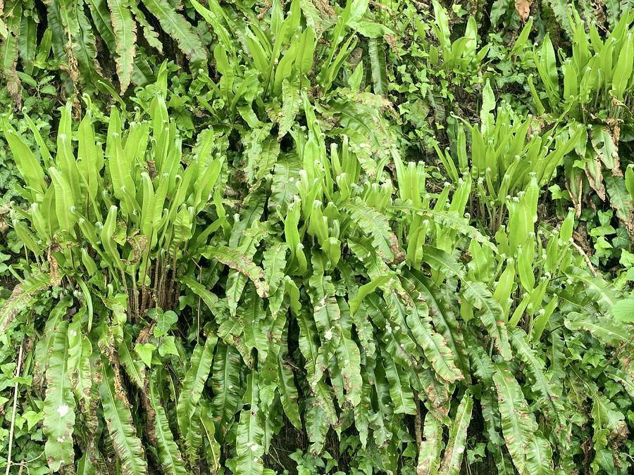 Plant Photograph - Harts Tongue Fern by Adrian Bicker