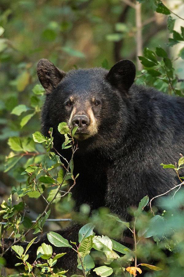 Bear Photograph - Harvest Time by Sandy Sisti