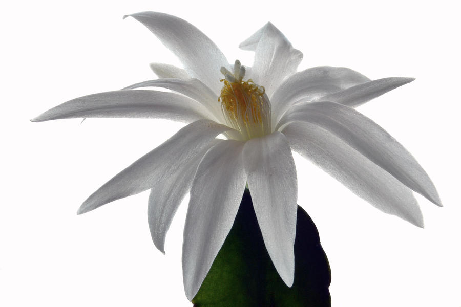 Easter Cactus Photograph - Hatiora by Terence Davis