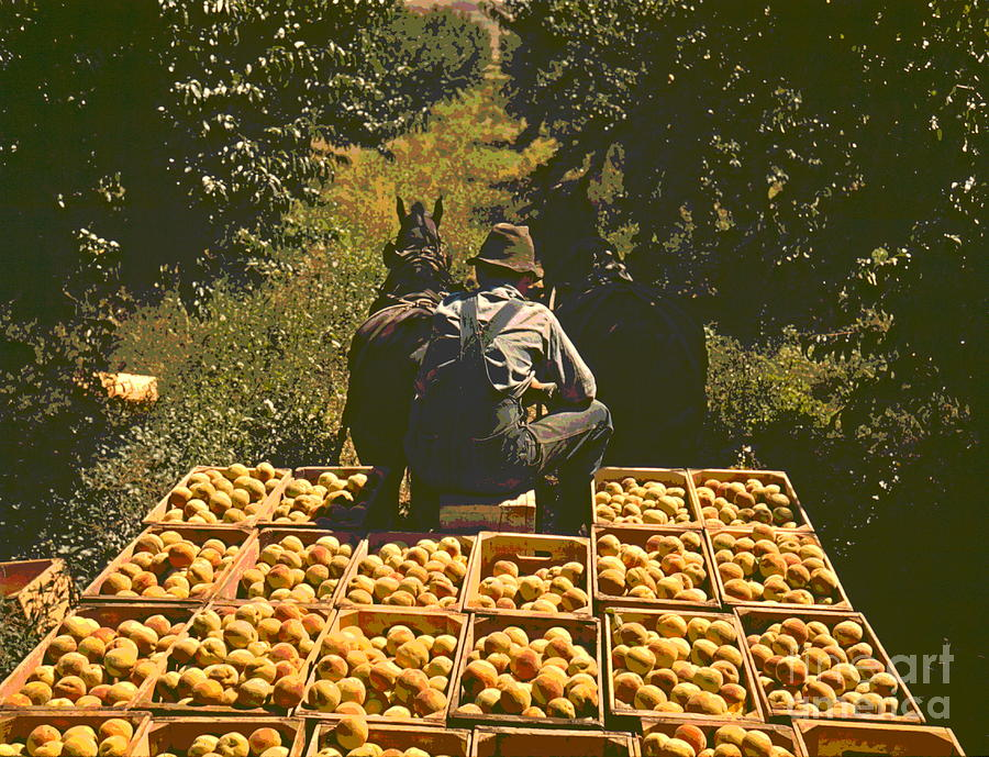 Peach Orchard Photograph - Hauling Crates Of Peaches by Padre Art