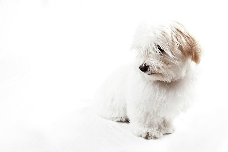 Horizontal Photograph - Havanese Puppy by Daniel Pupius