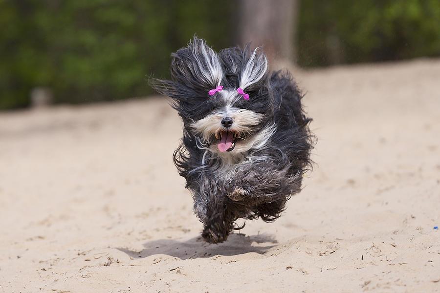 Havaneser Dog Above Sand Photograph by @Hans Surfer