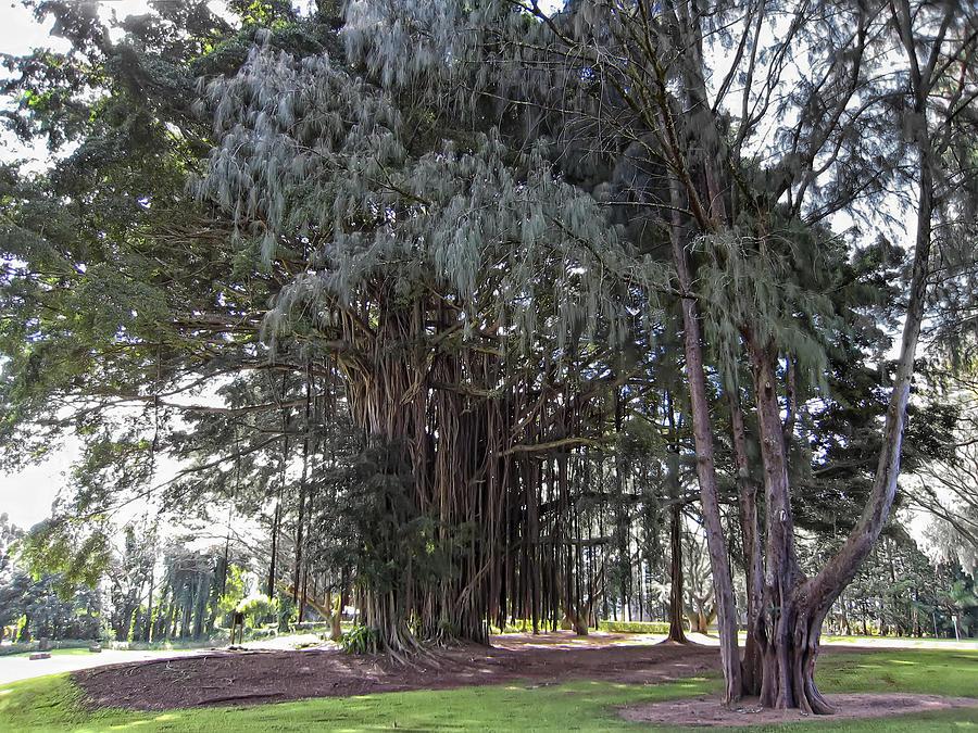 Banyan Photograph - Hawaiian Banyan Tree by Daniel Hagerman