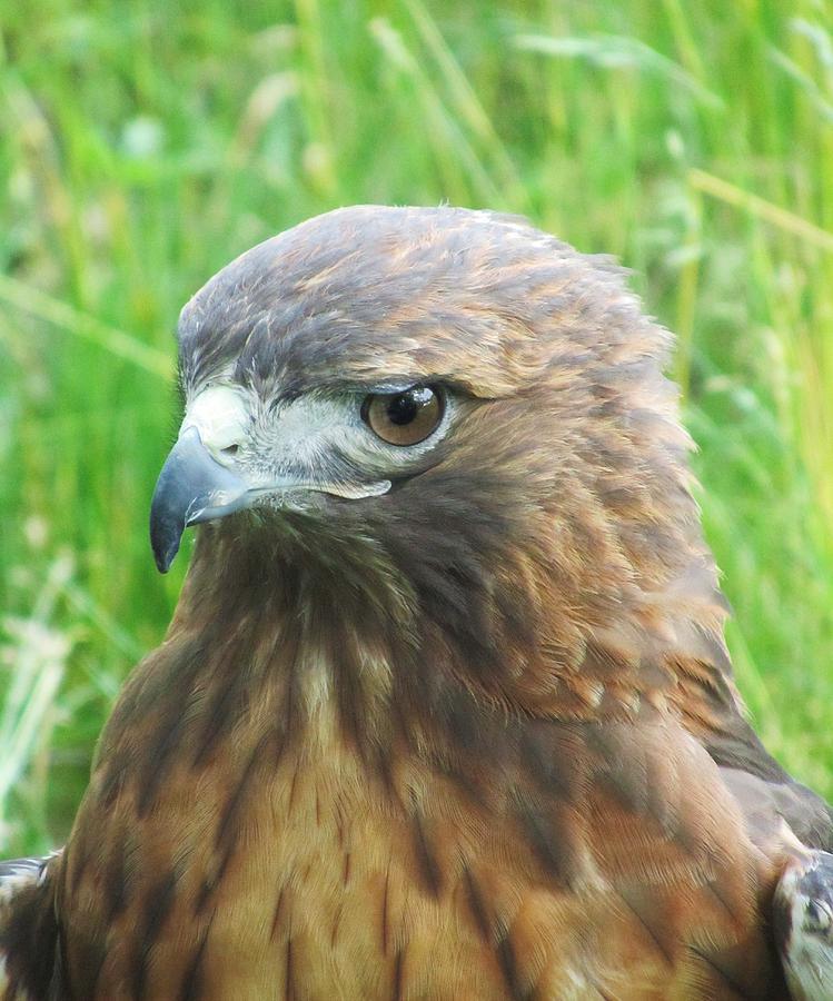 Hawk Photograph - Hawk-eye by Todd Sherlock