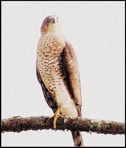 Hawk Mixed Media - Hawk by YoMamaBird Rhonda