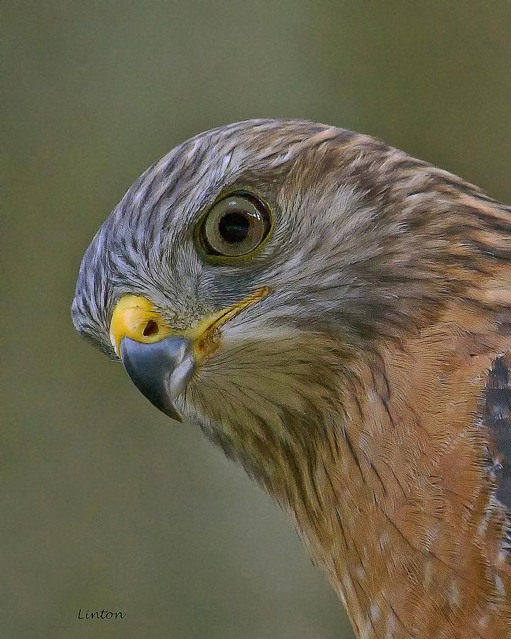 Red-shouldered Hawk Photograph - Hawkeye 2 by Larry Linton