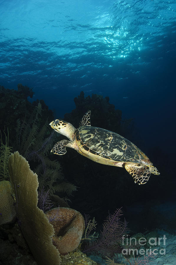 Sea Life Photograph - Hawksbill Sea Turtle Swimming by Todd Winner