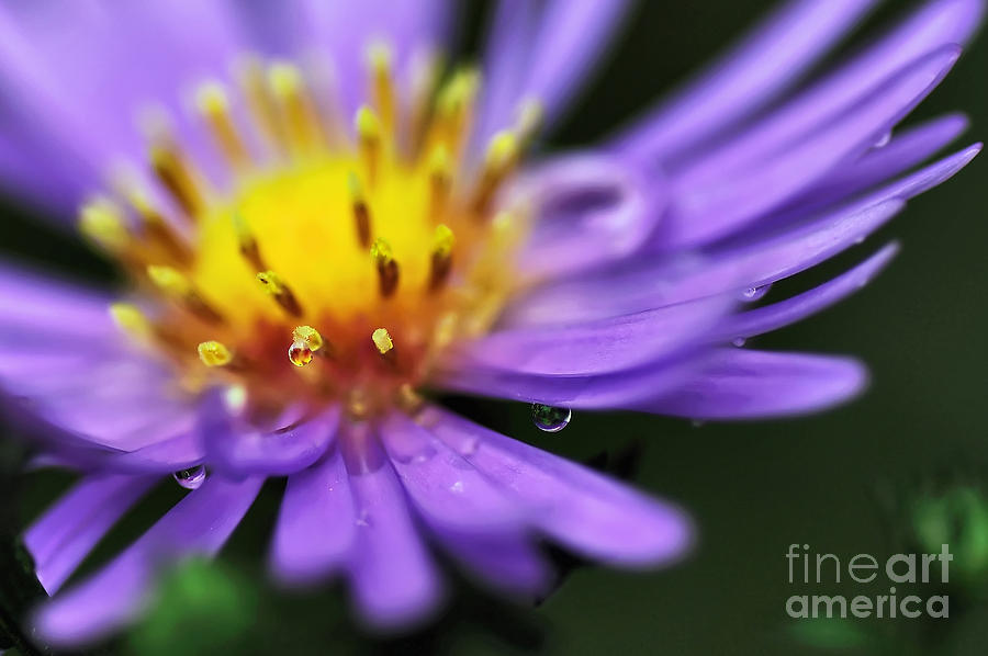 Photography Photograph - Hazy Daisy... With Droplets by Kaye Menner