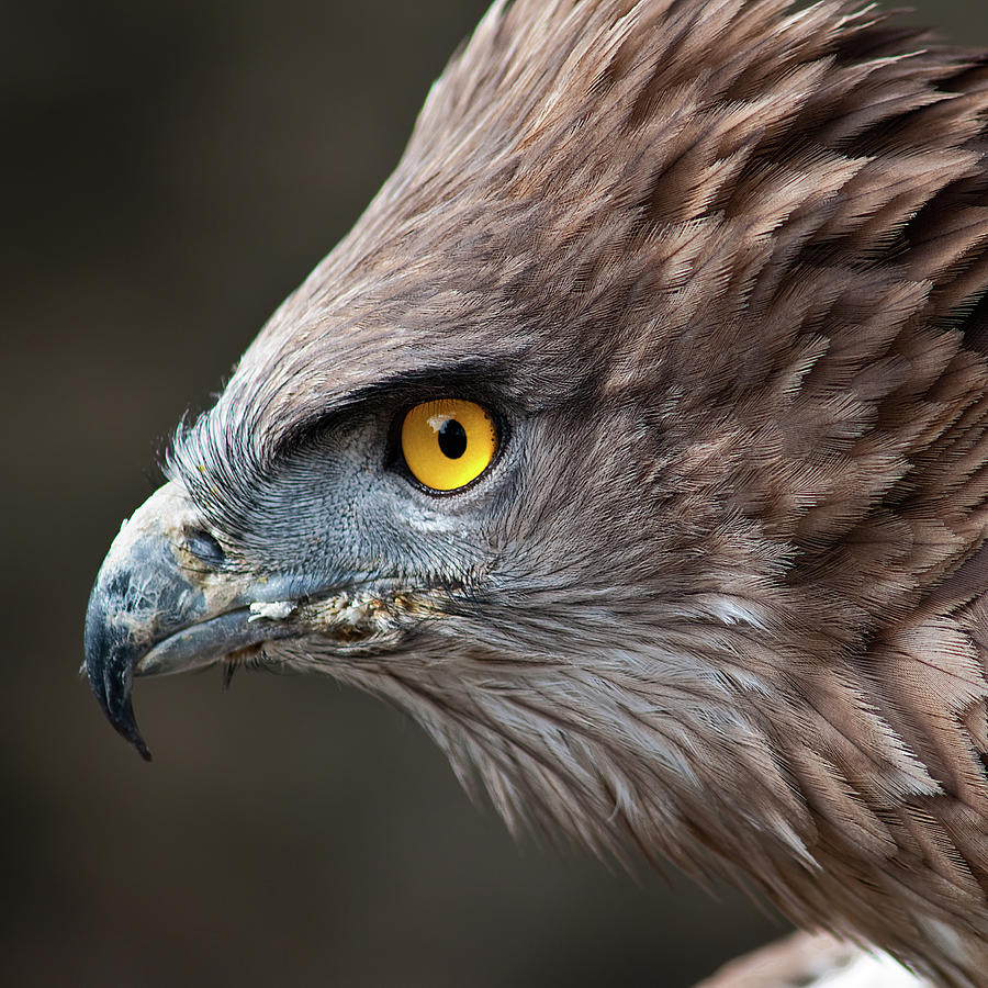Square Photograph - Head Of Eagle by Jonatan Hernandez Photography