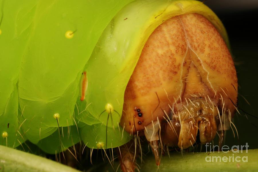 Head Of Polyphemus Caterpillar