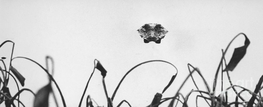 Alligator Photograph - Head-on Gator by Jim Wright