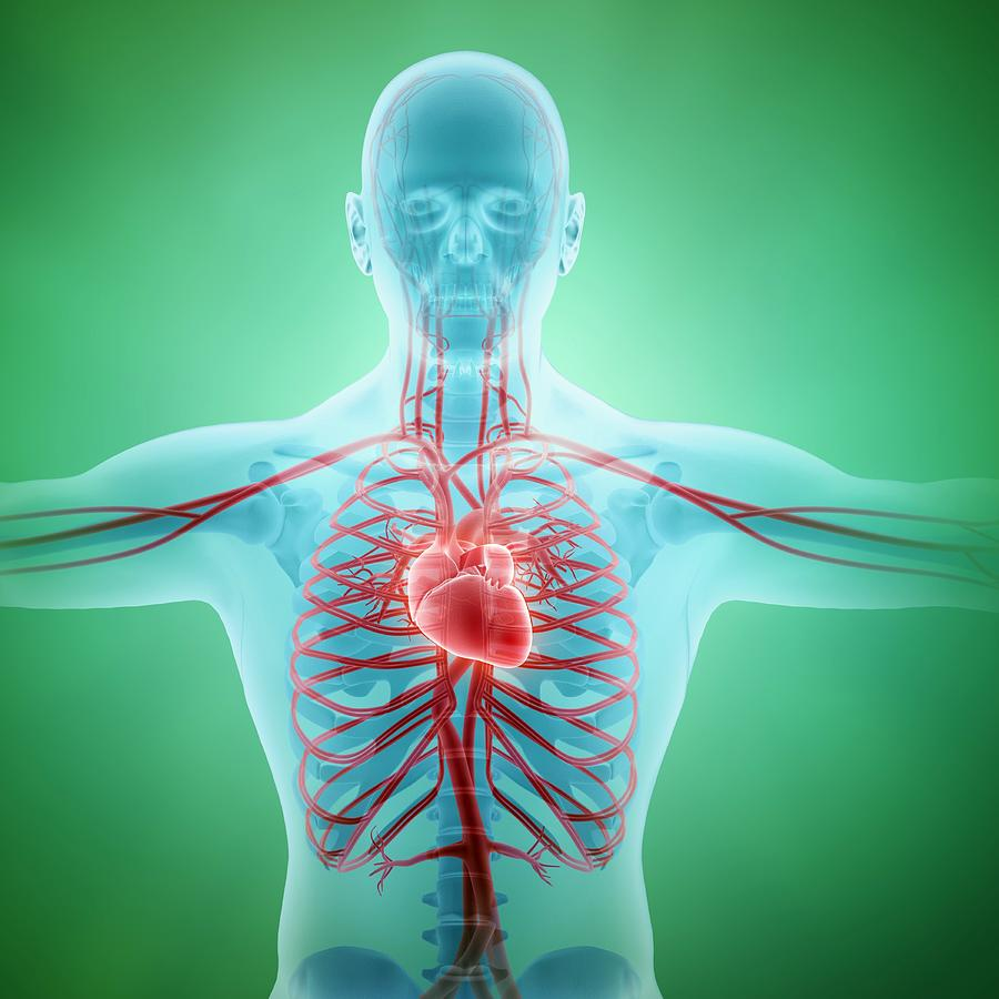 Healthy Cardiovascular System, Artwork Digital Art by Andrzej Wojcicki