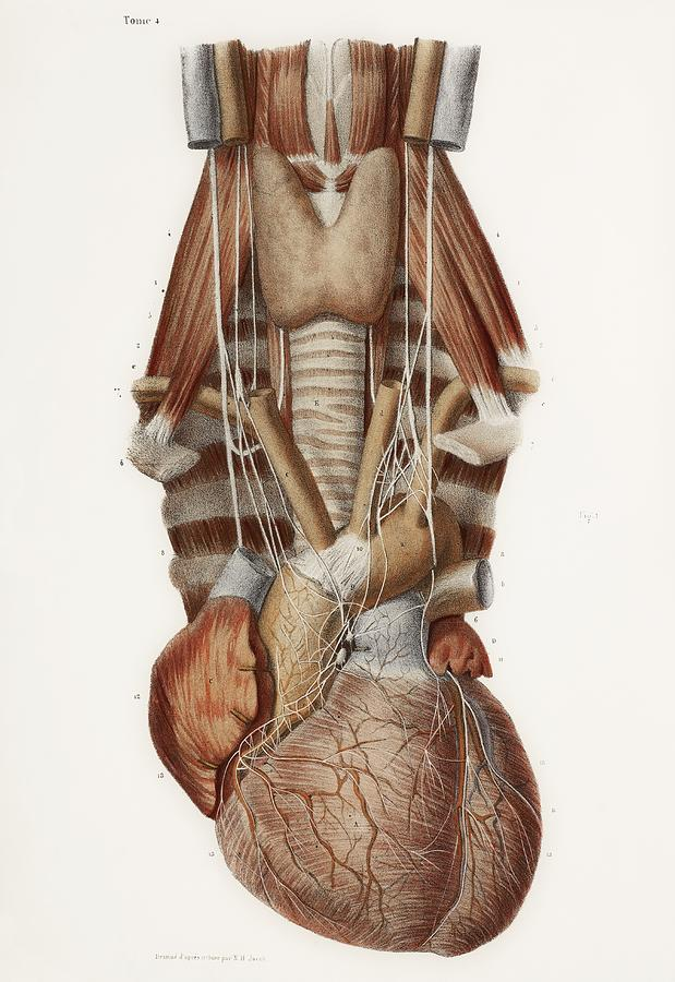 Anatomy Photograph - Heart And Neck, Historical Illustration by