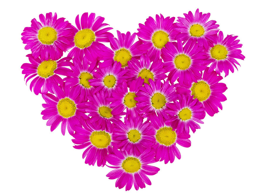 Daisies Photograph - Heart From  Pink Daisies by Aleksandr Volkov