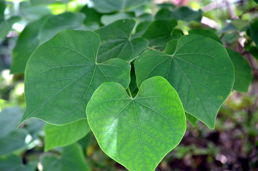 heart shaped leaves of green photograph by maria urso