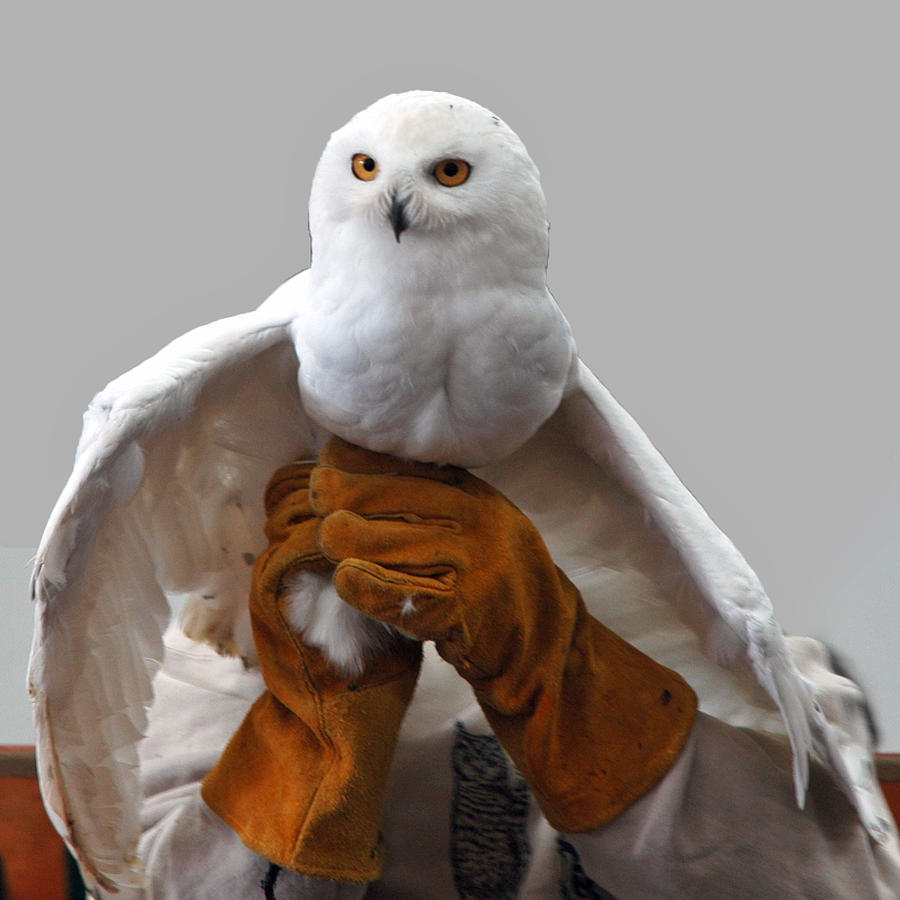 Usa Photograph - Hedwig Harry Potters Pet by LeeAnn McLaneGoetz McLaneGoetzStudioLLCcom