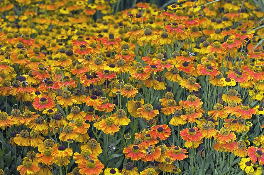 Sneezewort Photograph - Helenium sahins Early Flowerer by Dr Keith Wheeler