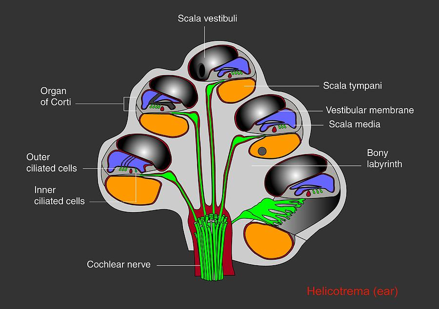 Helicotrema Cochlear Structure  Diagram Photograph By