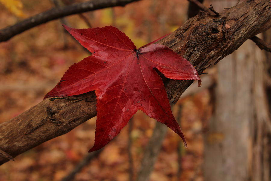 Red Leaf Photograph - Hello Red by Bob Whitt