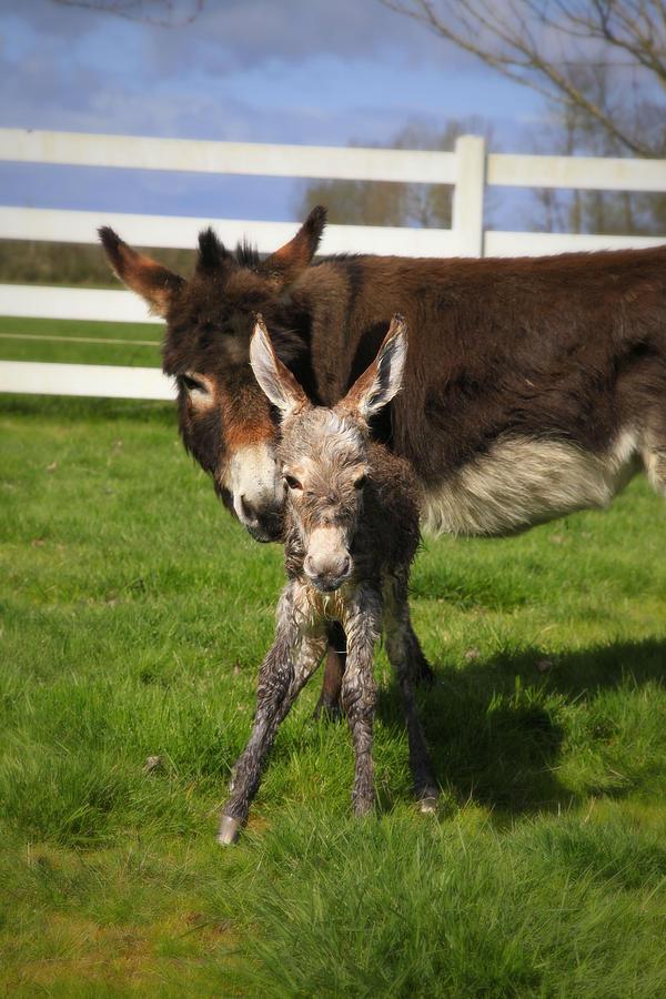 Baby Donkey Photograph - Hello World by Tiana McVay