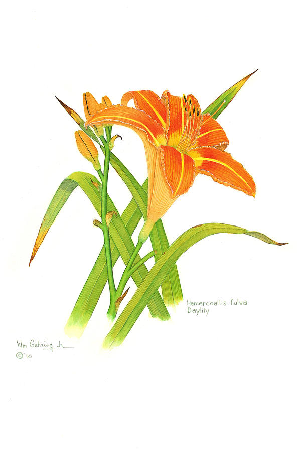 Flowers Painting - Hemerocallis fulva Daylily by Bill Gehring