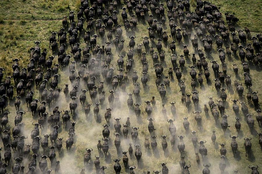 Herd Of Migrating African Buffalo Photograph By Beverly