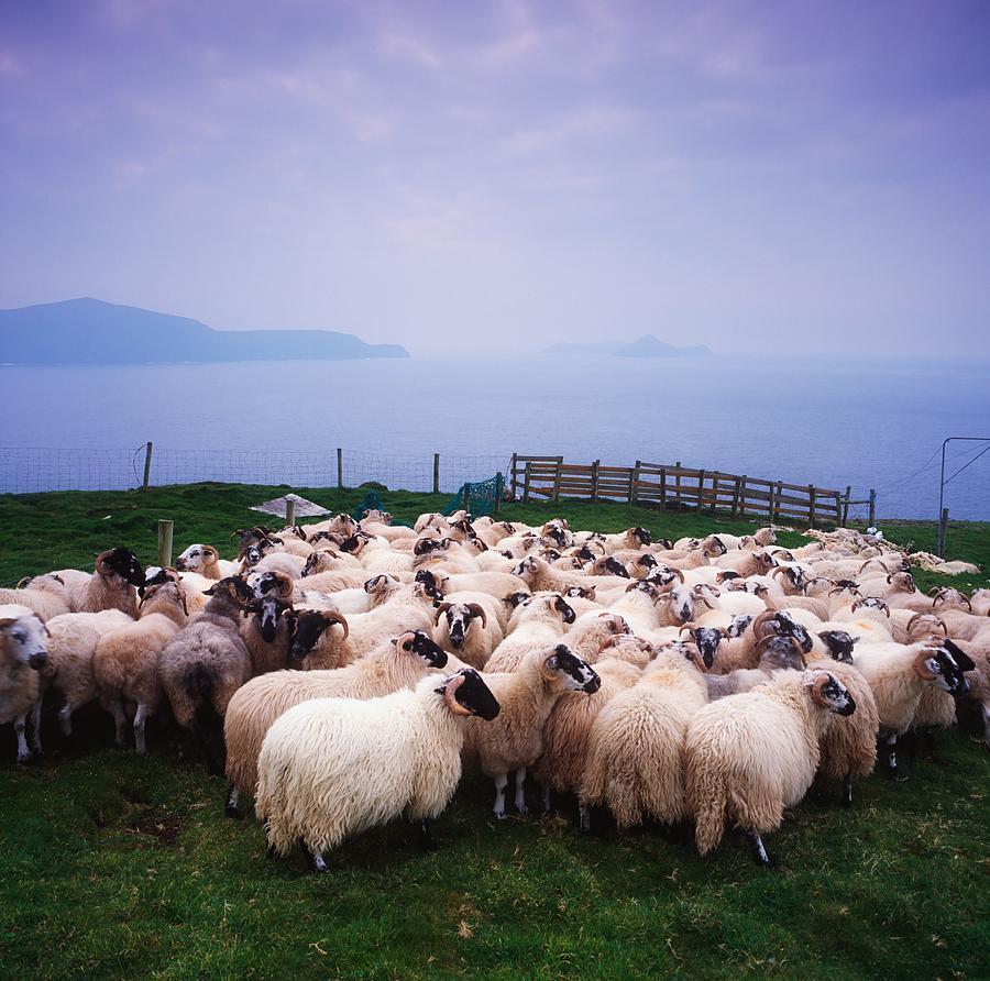 Animals Photograph - Herding Sheep, Inishtooskert, Blasket by The Irish Image Collection
