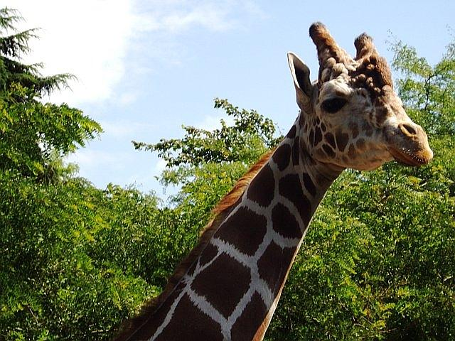 Giraffe Photograph - Heres Looking At Ya by Sandi Owens