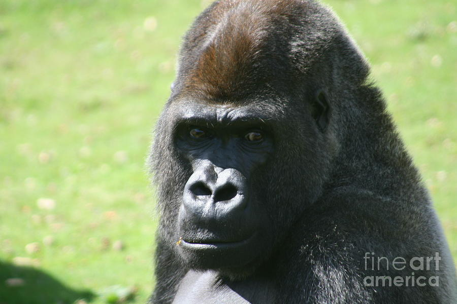 Gorilla Photograph - Heres Looking At You by Carol Wright