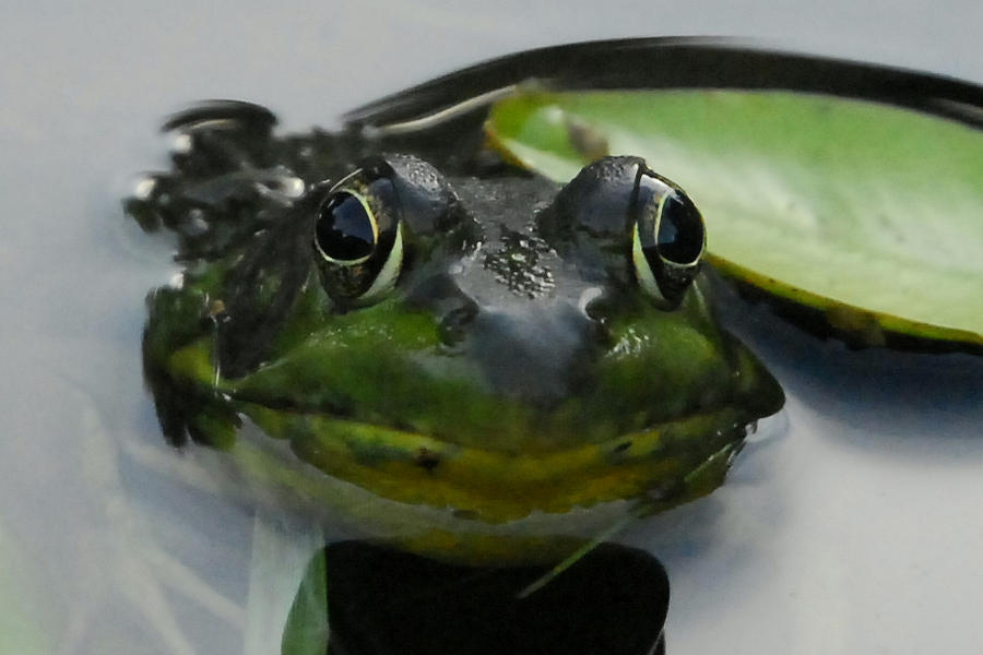 Frog In Pond On Lily Pad In Water Looking At You Photograph - Heres Looking At You. by Lisa Masciadrelli