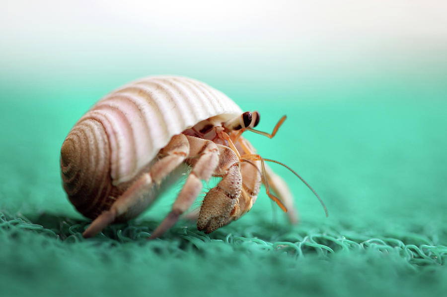 Horizontal Photograph - Hermit Crab Running by With love of photography