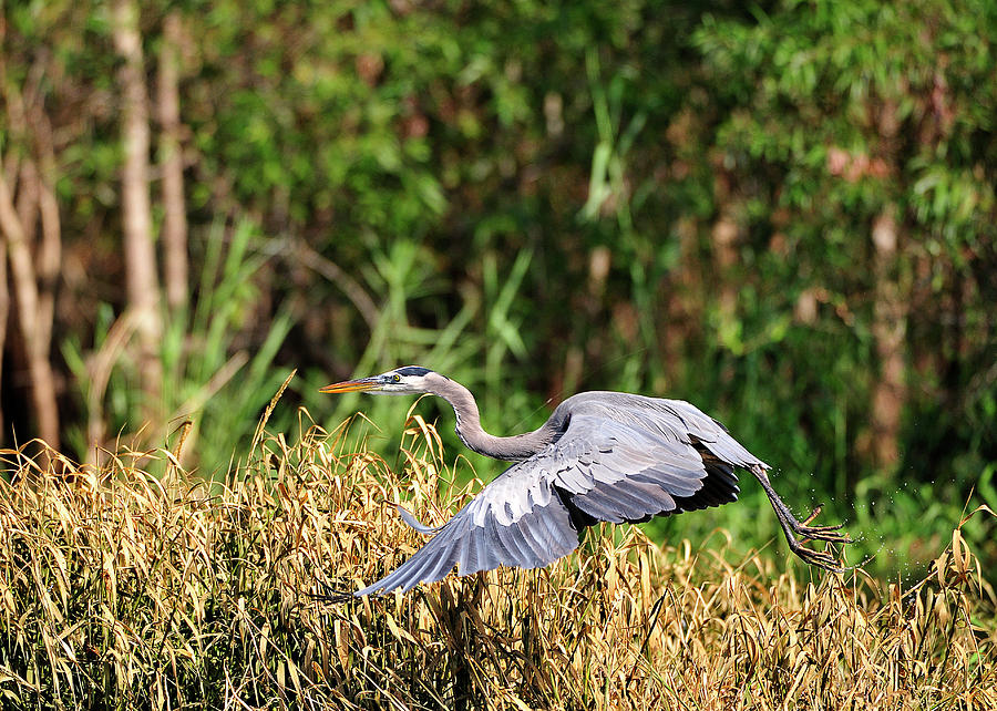 Great Blue Heron Photograph - Heron Flying Along The River Bank by Bill Dodsworth