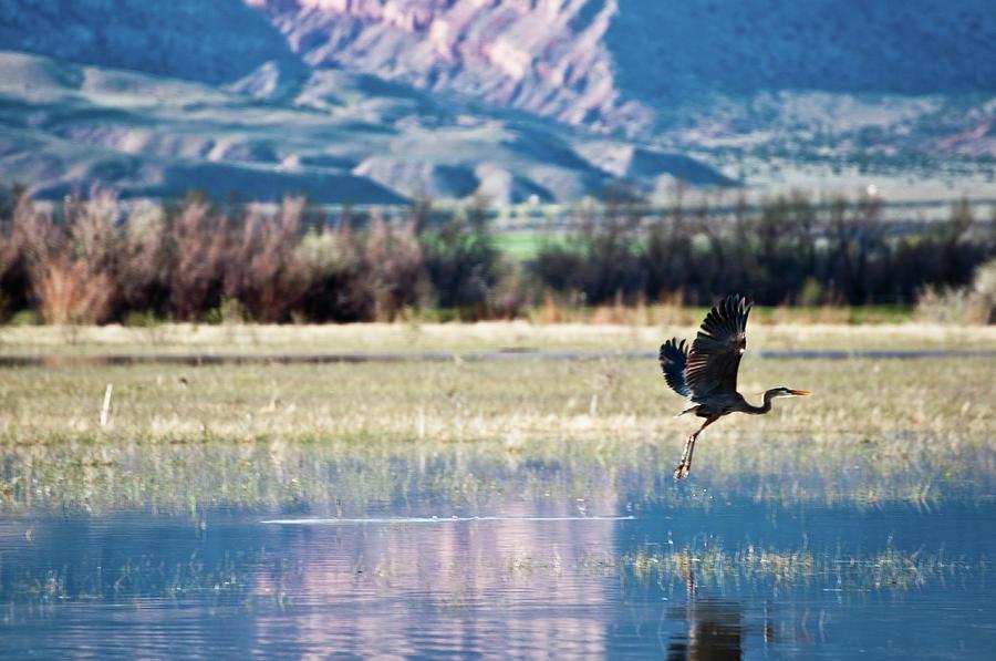 Horizontal Photograph - Heron In Flight by Harpazo_hope