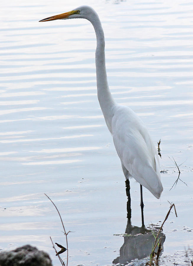 Becky Photograph - Heron Reflection by Becky Lodes