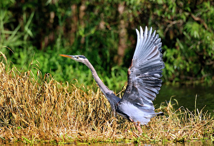 Great Blue Heron Photograph - Heron Taking To Flight by Bill Dodsworth