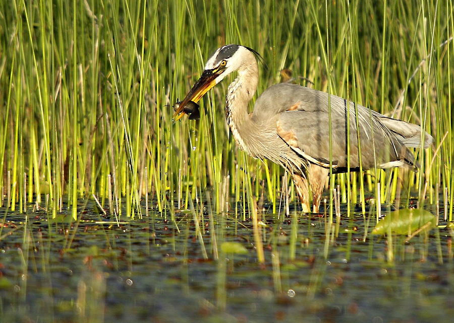 Heron's Snack by Mike Hainstock