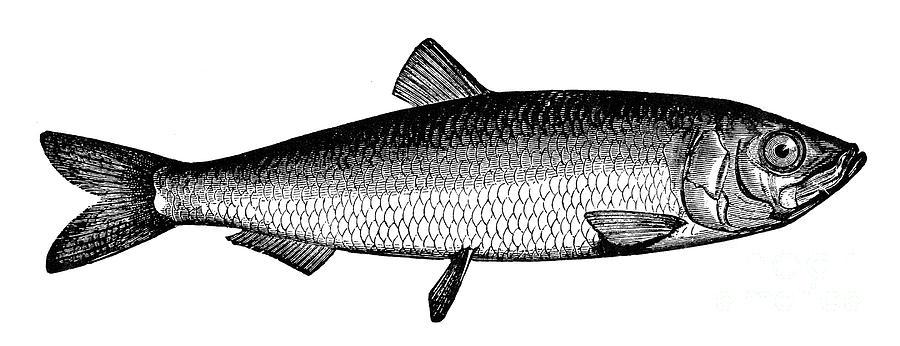 Aquatic Photograph - Herring by Granger