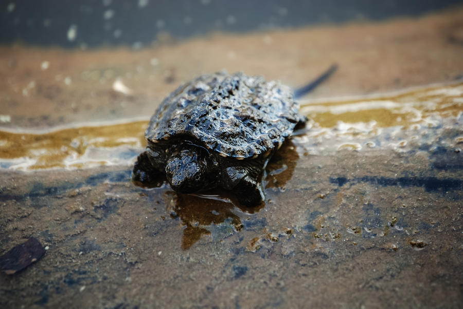 Turtle Photograph - Hey Hold Up. by Kelly Rader
