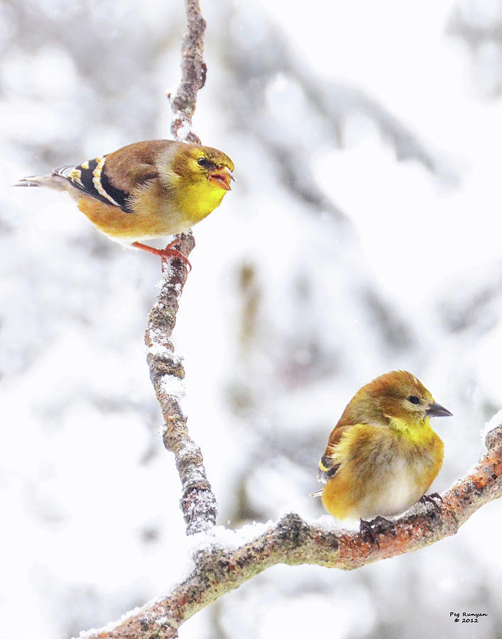 Goldfinch Photograph - Hey I Am Talking To You by Peg Runyan