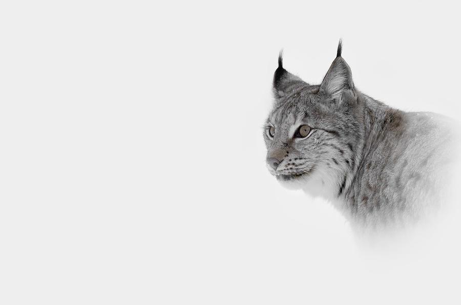 Lynx Photograph - Hi Key Lynx by Andy Astbury