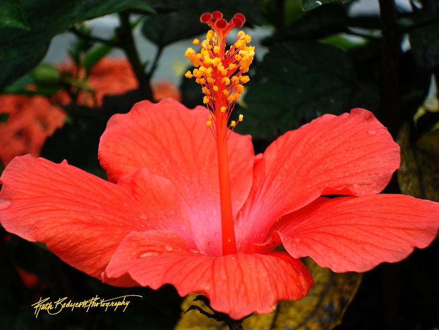 Nature Photograph - Hibiscus Bowl by Ruth Bodycott