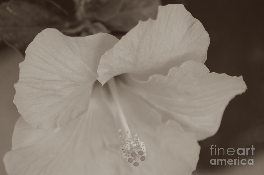 Hibiscus Flower in B and W by DONNA BENTLEY
